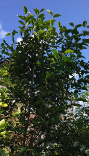 ベトナムのお茶の木