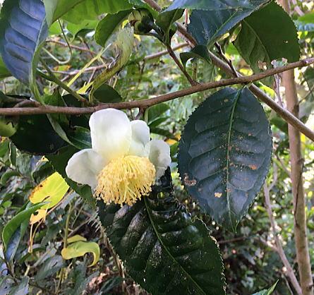 ベトナムのお茶に花が咲いた