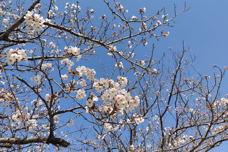 3月24日天伯第一公園の桜